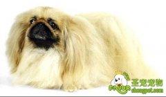 京巴犬的疾病防治
