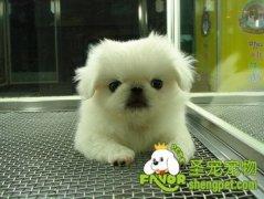 北京犬的美容知识