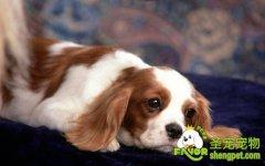 狗狗假孕的诊断