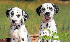 斑点犬对全身性的麻醉会产生过敏症状