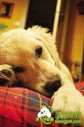 狗狗进行不孕手术应尽早