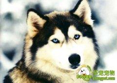 阿拉斯加雪橇犬的价格是多少