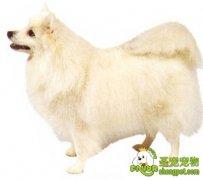 日本尖嘴犬的疾病防护