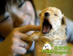 宠物犬美容用词中英文对照