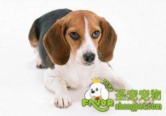 狗狗耳朵疾病之耳螨
