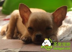 狗狗体臭味道的常见原因