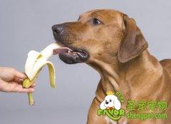 给狗狗吃素食的注意事项
