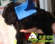 泰迪犬的毛发打结怎么处理