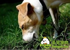 引起狗狗吃草的原因