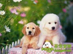 狗狗的繁殖期该怎么算