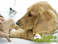 狗狗分娩前会有哪些表现