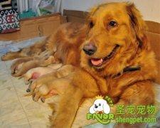 狗狗分娩前需要做的准备和分娩前的征兆