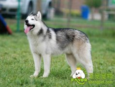 选择西伯利亚雪橇犬的体型标准