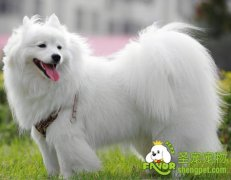 萨摩耶和日本银狐犬的辨别技巧