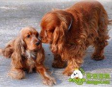 英国可卡犬和美国可卡犬之间的分辨技巧