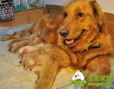狗狗生育前需要有哪些准备