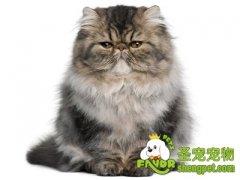 挑选健康喜马拉雅猫的注意事项