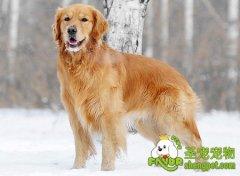 狗狗髋关节病的表现及治疗方法