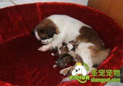 照顾怀孕狗狗的注意事项有哪些