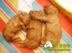狗狗产前的准备以及产后的护理