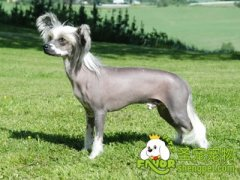 中国冠毛犬的饲养和管理方法