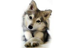 狗狗出现低血钙症的原因、症状以及治疗方法