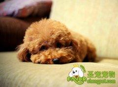 狗狗的肺炎双球菌病