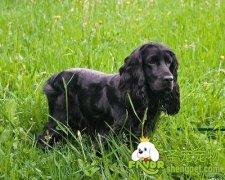 为什么狗狗经常挠耳朵