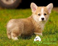 狗狗的传染性肝炎有哪些症状