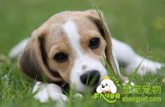 狗狗心力衰竭的原因及防治