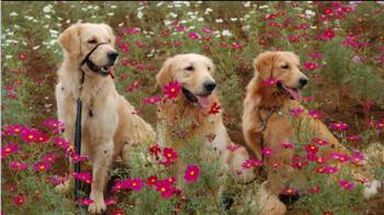 金毛犬的美容养护方法都有哪些?