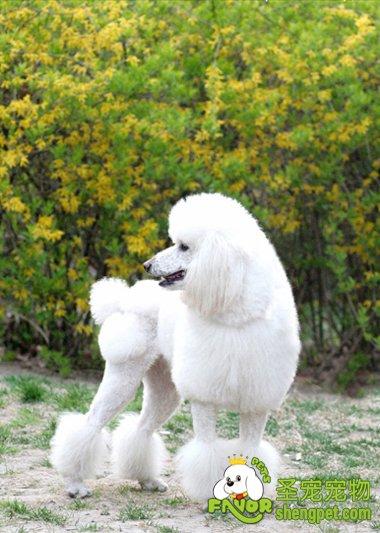 毛法/贵宾犬的修毛最复杂,修毛法也最多。