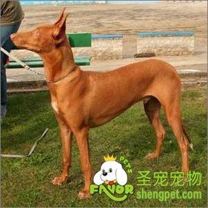 法老王猎犬图片
