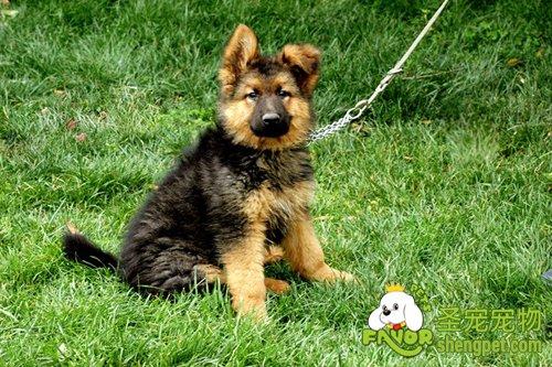 如何选购德国长毛犬