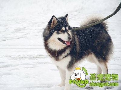 狗狗安全过冬的注意事项