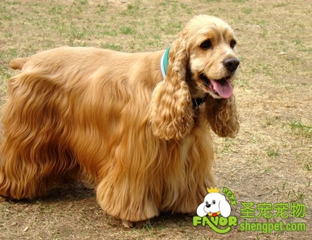 美国可卡犬的外貌介绍