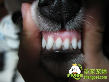 如何根据狗的牙齿判断狗的年龄